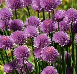 Chives Blooming in Garden