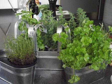 Herbs Growing in Metal Containers in Kitchen