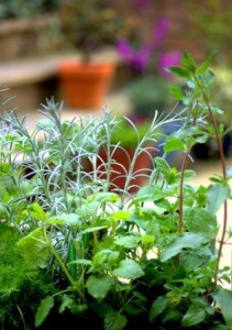 Mixed Culinary Garden Herbs