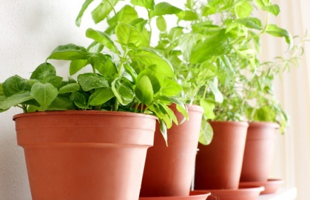 Culinary Herbs in Pots growing indoors
