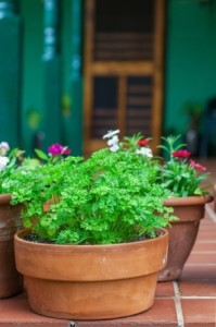 Parsley growing in terra cotta planter