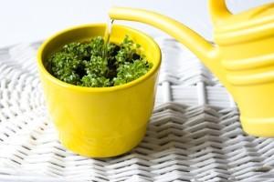 watering fresh basil in pot