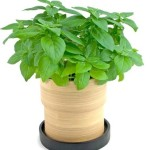 bamboo basil grow pot