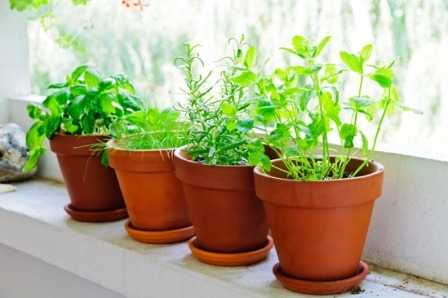 Pots With Fresh Green Herbs On Window Sill