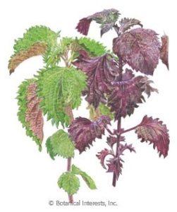 Perilla Herb Seeds