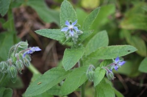 Borage herb self seeds