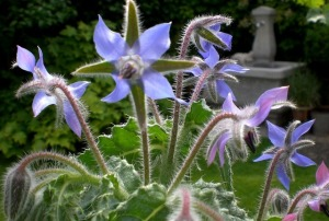 borage oil benefits