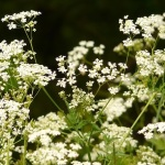 Chervil: A French Gourmet's Parsley