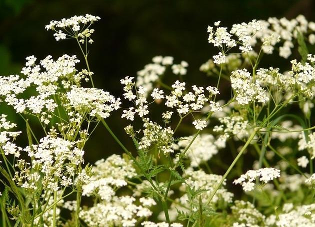 chervil flowers