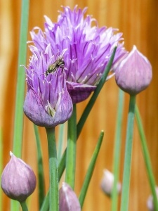 Chive flowers attract bees