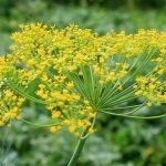 Dill: A Feathery Fragrant Herb