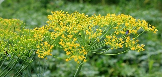 dill blooming in garden
