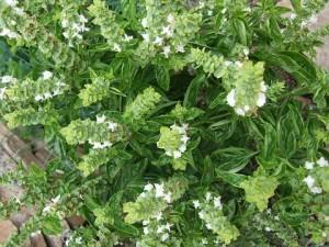 Flowering Basil