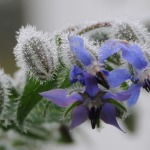 Borage: One of the Prettiest and Versatile Herbs in the Garden