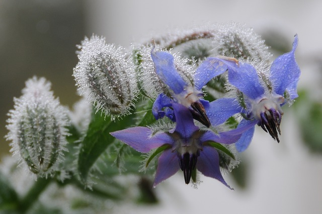 borage seed heads fuzzy leaves