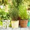 How to Grow Culinary Herbs in the Home Herb Garden