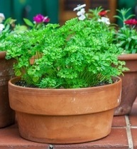 Potted Parsley Plant