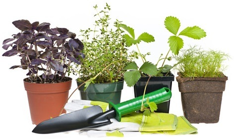young herb plants for potting up indoors