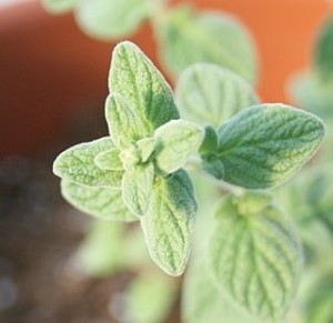 Za'atar Marjoram is excellent in fresh salads