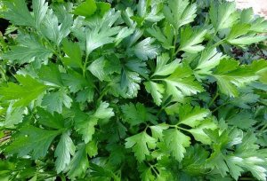 flat leafed parsley