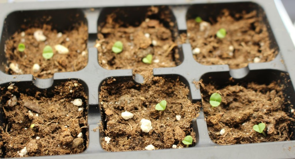 Sprouted Basil Seeds