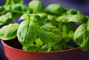 young basil plants
