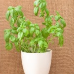 How to Grow Basil from Seed Indoors