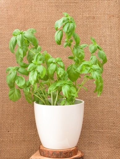 Basil Seedlings Growing In A Pot