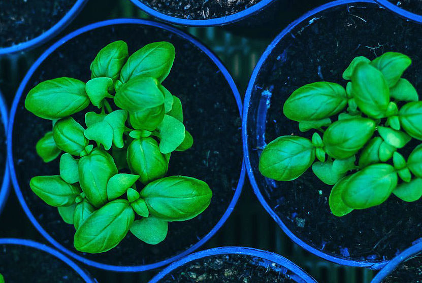 groups of basil seedlings in a blue pots