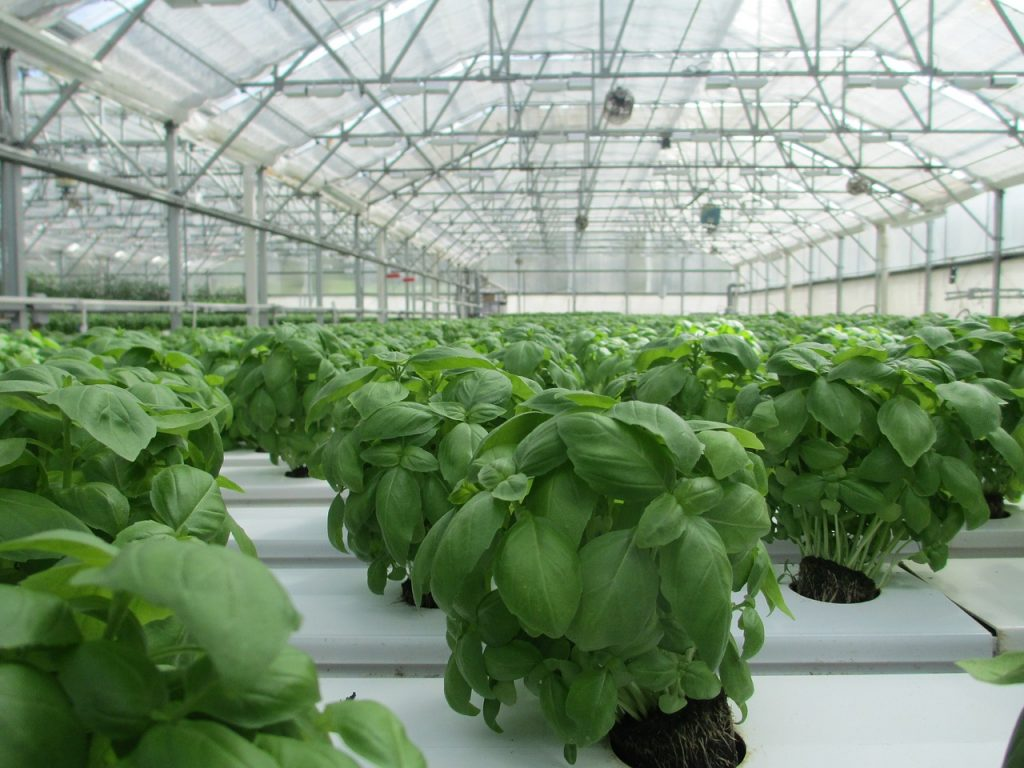 hundreds of basil plants in a hydrponic setup being grown for mass production and distribution at grocery stores