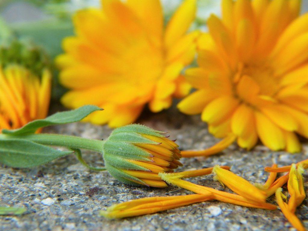 freshly picked calendula flowers