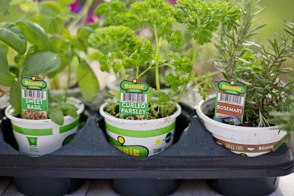 store bought herb seedlings in small pots ready for planting