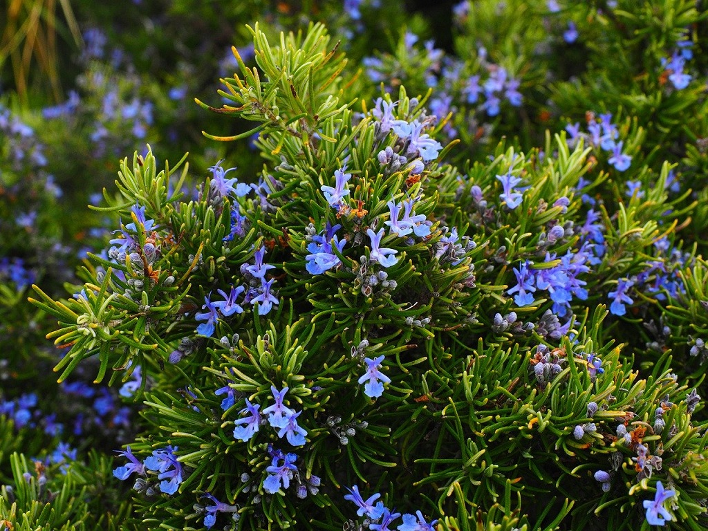 Rosemary with dark blue flowers growing in the garden