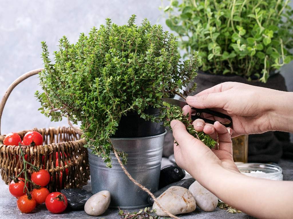 clipping leaves from thyme plant