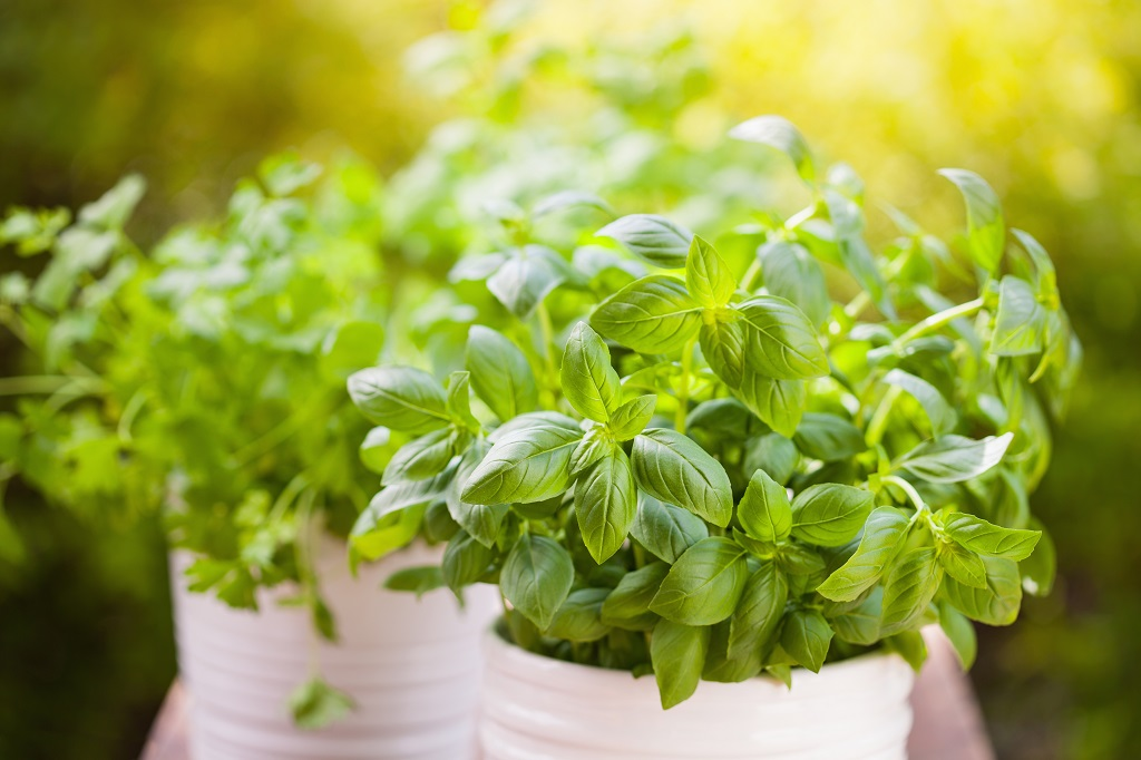 Sun shining on a potted basil plant outdoors