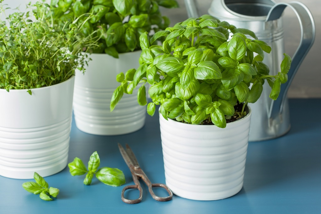 scissors with sprigs of cut basil next to a white potted herbs on a blue table
