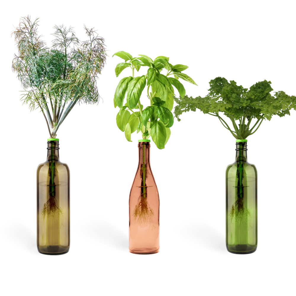 wine bottle indoor growing kit shown with dill, basil and parsely