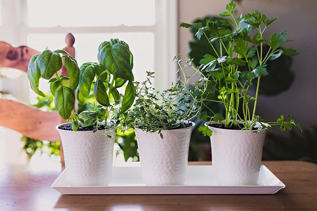 set of 3 white/cream colored pots with basil thyme and parsely planted in them