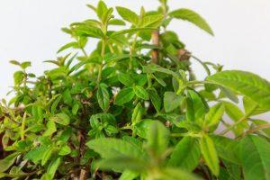The herb lemon verbena