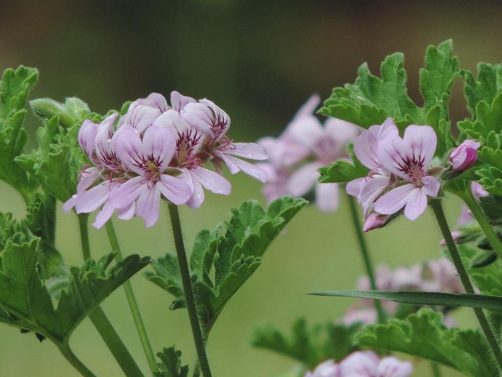 pink rose scented geraniums