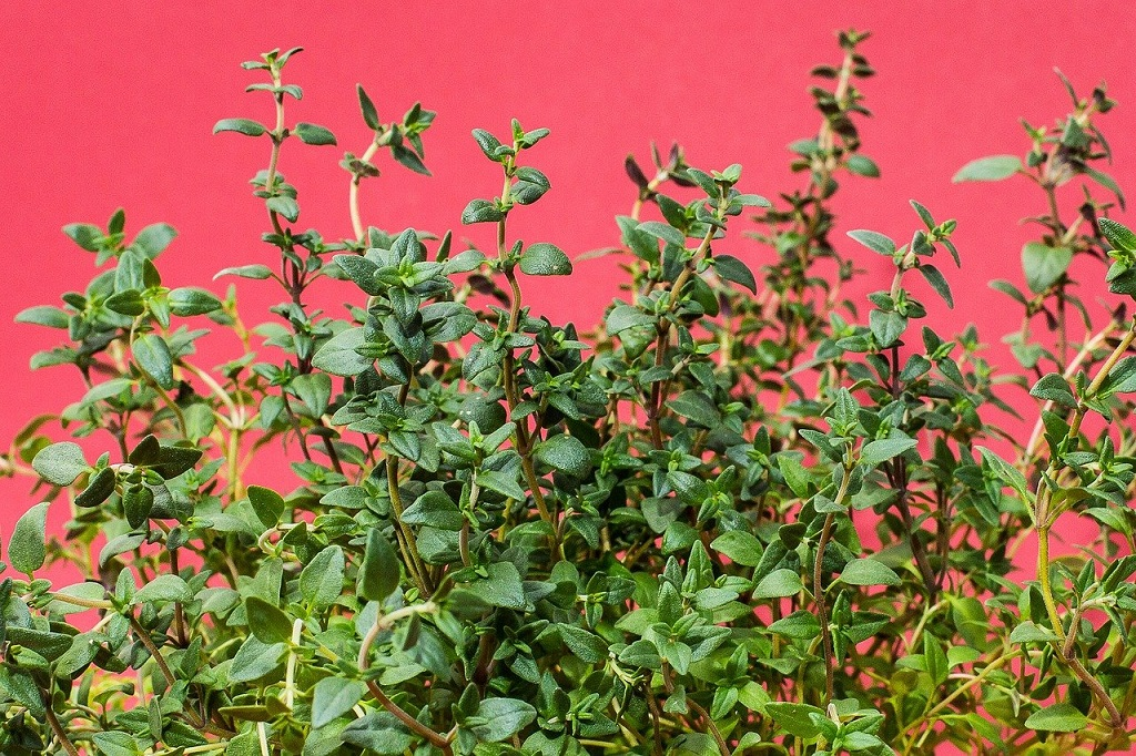 thyme on red background