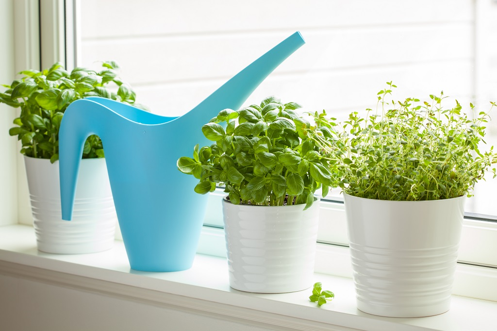 basil and thyme growing on a window with a blue watering can