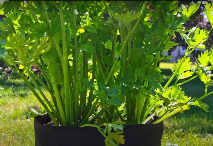 parsley growing in a smart pot