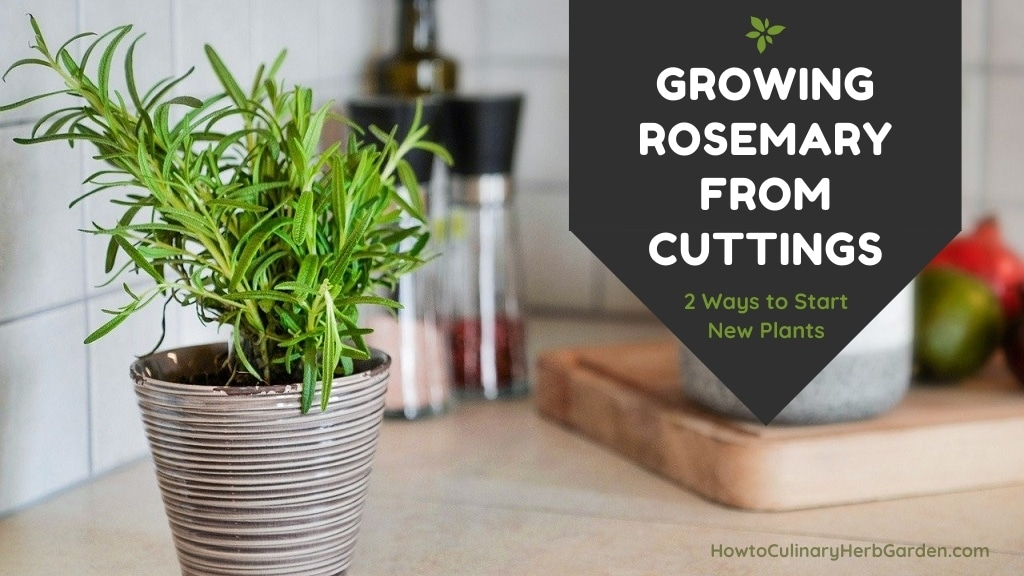 Growing rosemary from cuttings - 2 ways to start new plants