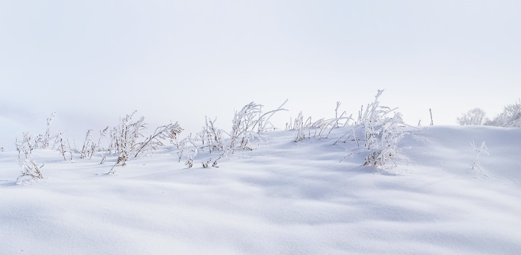 winter hardy herbs growing under a blanket of snow