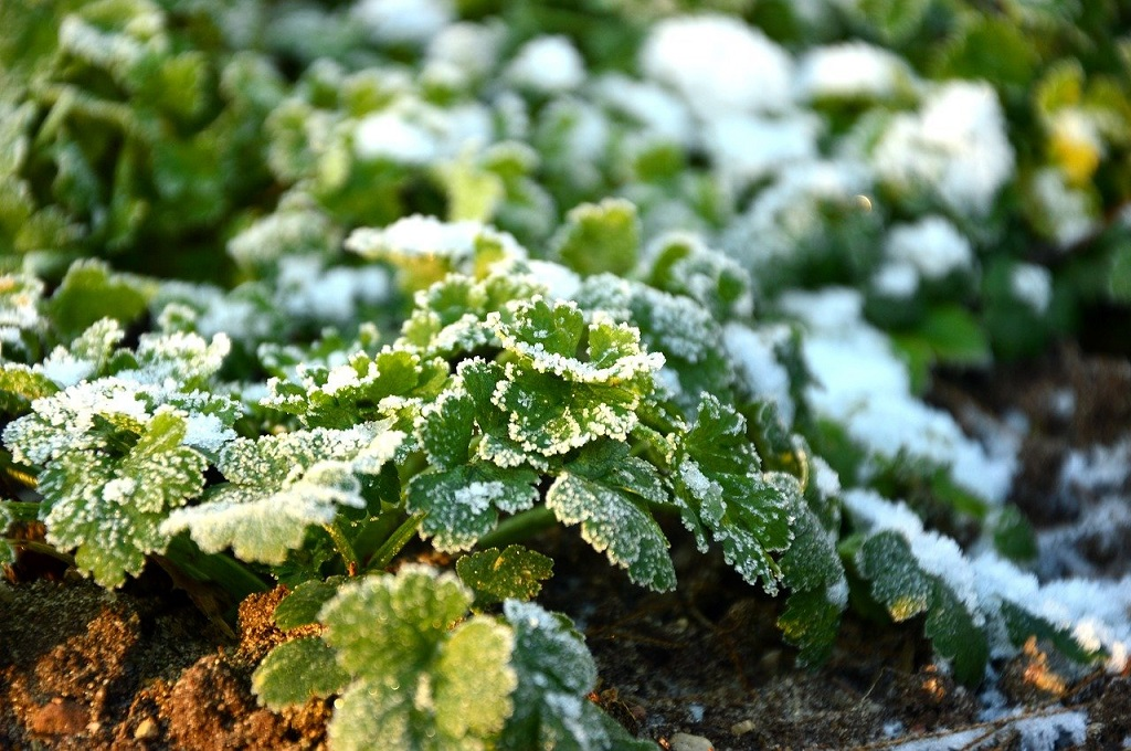 parsley growing in the garden with a light frost