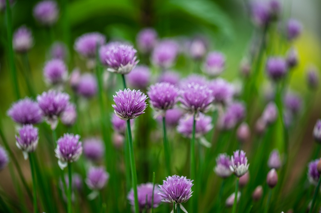 Puple chives blooming in the garden