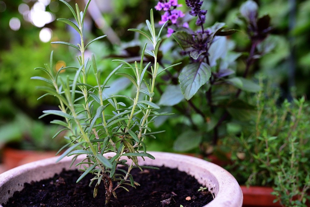 Rosemary plant growing outside in a pot