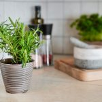 new rosemary plant in a small pot on the kitchen counter