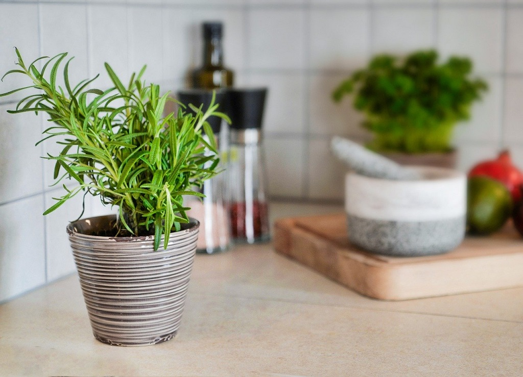small rosemary plant in pot on kitchen table